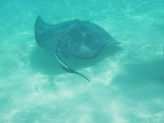 One of the rays just hanging around.